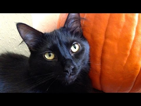 Black Cats are GOOD LUCK! - 10 Reasons to Adopt a Black Cat!