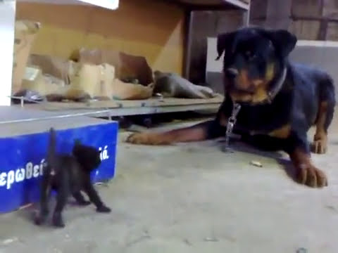 Brave Kitten Stands Up to Dog