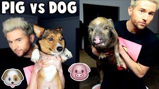 Download Lagu PIG vs DOG: Testing Pets Intelligence Gratis STAFABAND