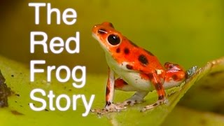 The Red Frog Story - Frog Documentary - Oophaga pumilio - Bastimentos Island, Panama