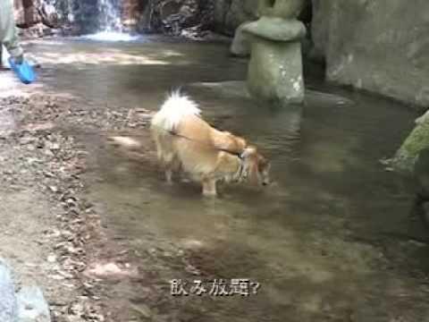 雑種犬「風(ふう)」 龍神温泉旅行/Ryujin hot spring trip with pet dog