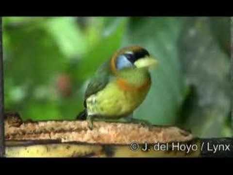 Red-headed Barbet - Eubucco bourcierii Video