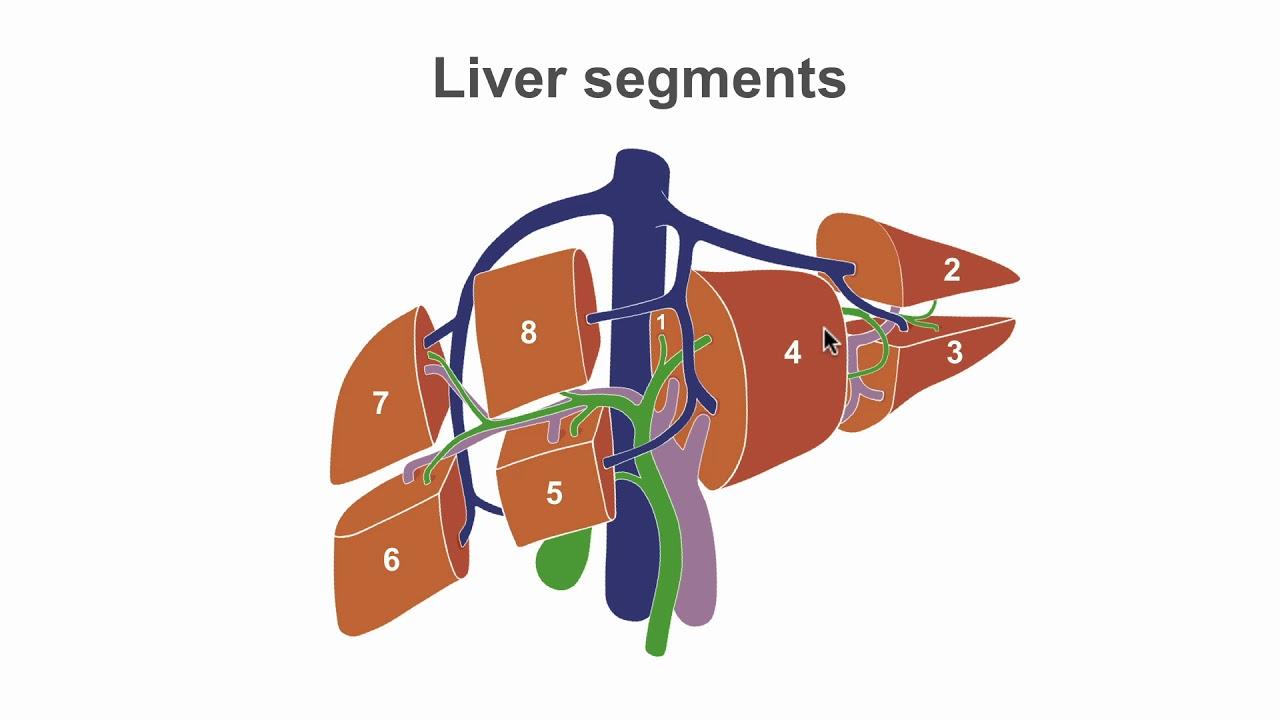 Ultrasound liver anatomy
