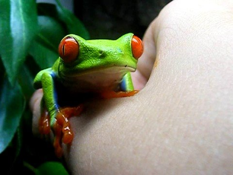 My red eyed tree frog and american green tree frog - YouTube