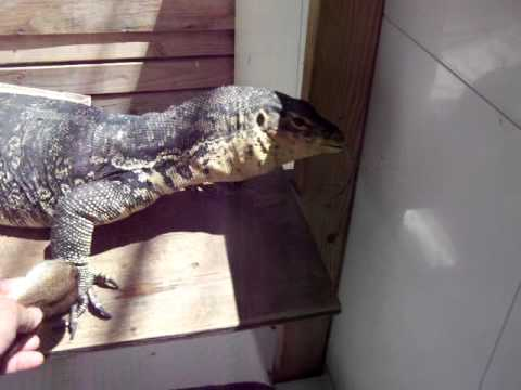 Phil my Big Pet Monitor Lizard