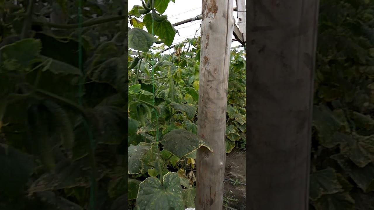 Выращивание огурца во втором обороте 83
