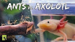 Ants vs. Axolotl