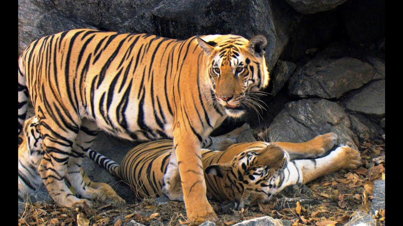Please Put On Kids Tiger Videos