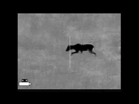Chupacabra - Severe Mange Coyote