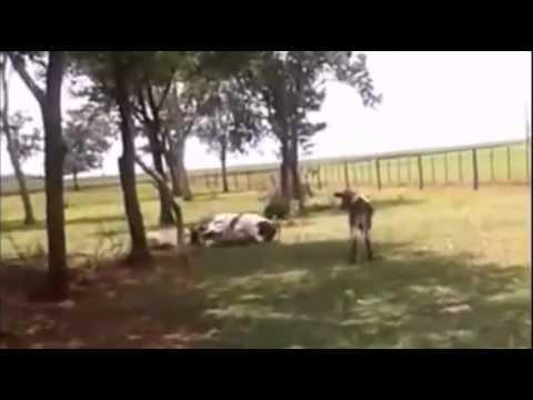 Azgın Koç İneği Bir Darbeyle Yere Serdi