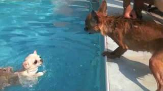 Chihuahuas in the pool