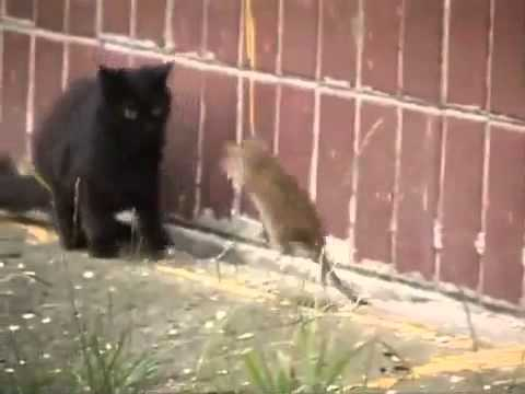 Giant Russian Rat Attacks Cats [HQ]