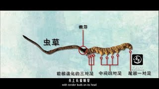 8萬一斤?冬蟲夏草到底是什麼?為什麼那麼貴|160,000¥/kg? What is Cordyceps sinensis? Why is it so expensive?