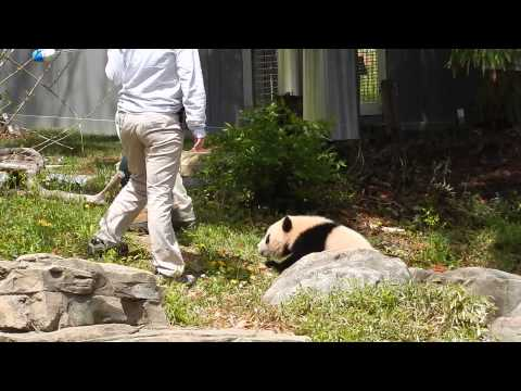 Bao Bao Panda Playing Tag 4/20/2014