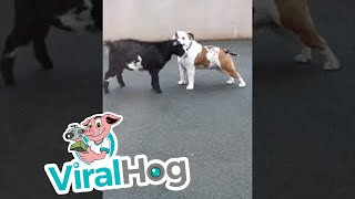 Bulldog and Pygmy Goat Make Best Buddies || ViralHog