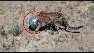 Leopard's head stuck in a pot while trying to drink water