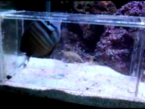 Aquarium fish trap sailfin tang youtube for Aquarium fish trap