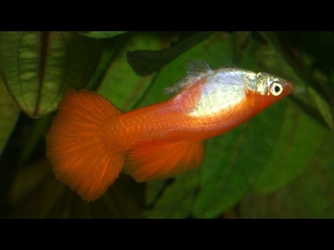 Guppys con vejiga natatoria goldfish enfermo lenguados for Enfermedades de peces goldfish