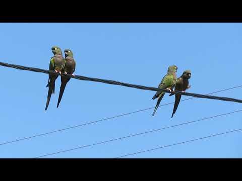 Papageien in Argentinien: Loros Barranqueros