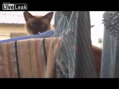 Gatos - Gato ninja es descubierto y pierde la concentración