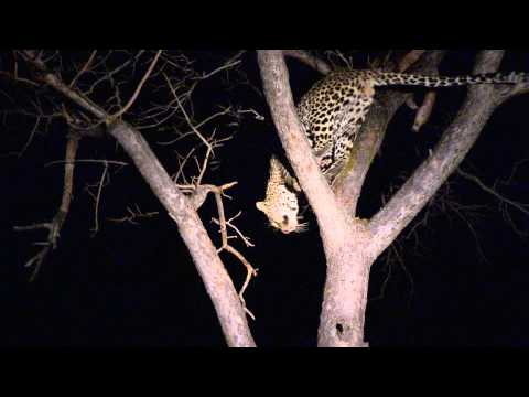 Sound of the African Bushveld, Leopard - AFRICAN WILDLIFE