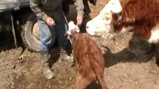 Tagging newborn Hereford calves