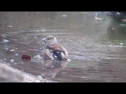 シメとヒヨドリの混浴 ハイスピード撮影