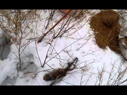 как ловить куропаток силками