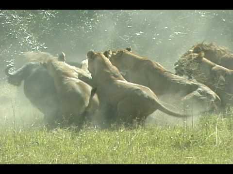 Duba Plains lions take down buffalo