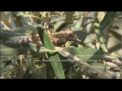 Antichrist : Plague of Locust invade Israel on the eve of the Passover visit of Obama (Mar 13, 2013)
