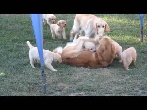 Ten golden retriever puppies swarm their mother, then their father. Every family should be this happy! Bella, Cap'n Jack and their ten beautiful pups! Bailey, Benny, Charlie, Cooper, Jack,...