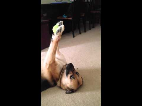 絶妙な加減でボールをうまく扱うすごすぎる犬達