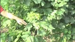 виноград характеристика сортов.flv