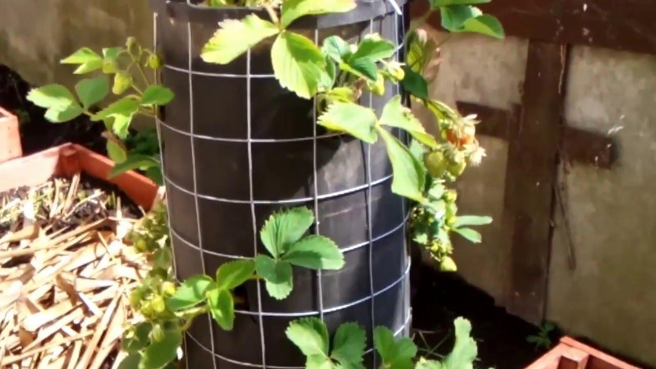 Сажать клубнику в трубах вертикально плюсы и минусы 87