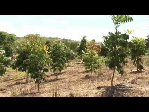 Insvestimento em mogno africano