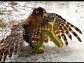 Pelea Mortal Halcon Vs Serpiente Cascabel mp3