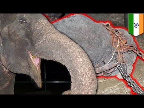 Elephant Cries After Rescue: Raju Abused In Captivity For 50 Years video