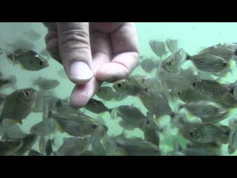 Killer Piranhas, do not watch if you don't like blood, at AquaScapeOnline.com,