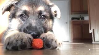 German Shepherd Puppy Transformation (6 weeks - 4 months)