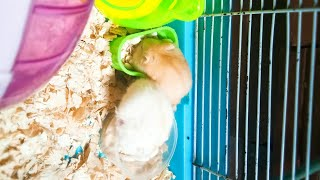 Mè Hamster TV | Mè và Chanh đi bơi | Tránh nóng cho hai bé