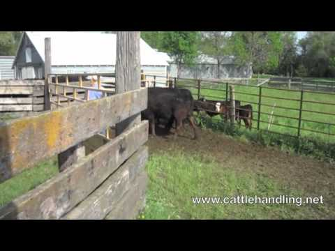 Working Calves Amp Cows In Facilities Without A Tub Cattle