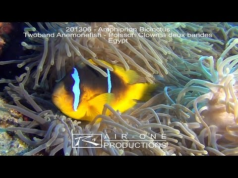 201306 - Amphiprion Bicinctus (Twoband Anemonefish - Poisson Clown à deux bandes) - Egypt