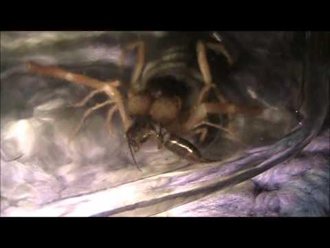 Joseys Sun Spider