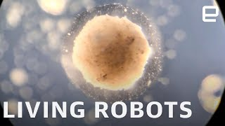 Researchers create the world's first living, programmable robots