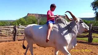 Moreno, Animais domésticos, Boi adestrado para montaria,  Simplicidade caipira,