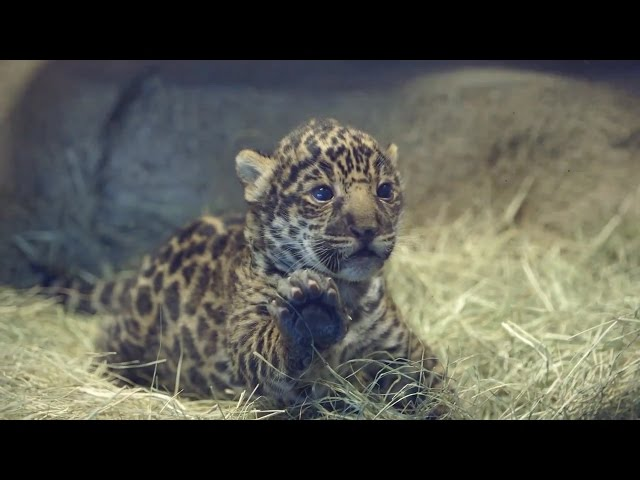 Jaguar Cub Makes Public Debut at San Diego Zoo