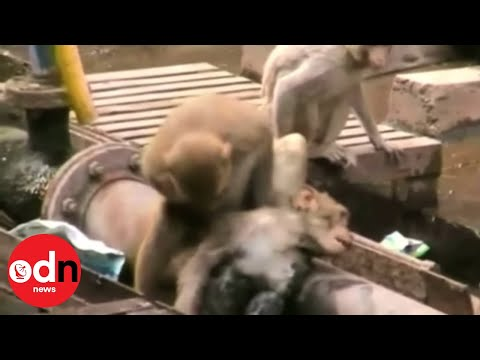 Heroic monkey: Monkey saves 'dying' friend at train station in India