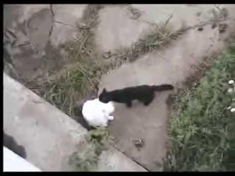 Прикольное видео!Кошачья драка!Юмор! Прикол! Смех