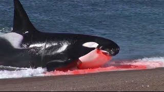 Killer whale attacks Seal on beach