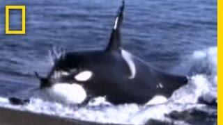 بالفيديو.. صراع رهيب بين الحوت القاتل وأسود البحر